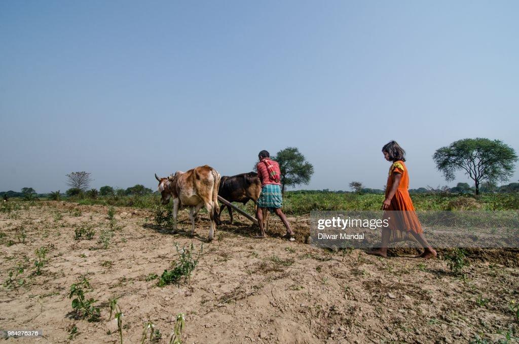 Indian farmer ploughs fields : Stock Photo