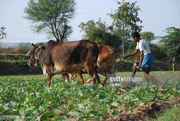 Indian farmer plowing the field with his cattle