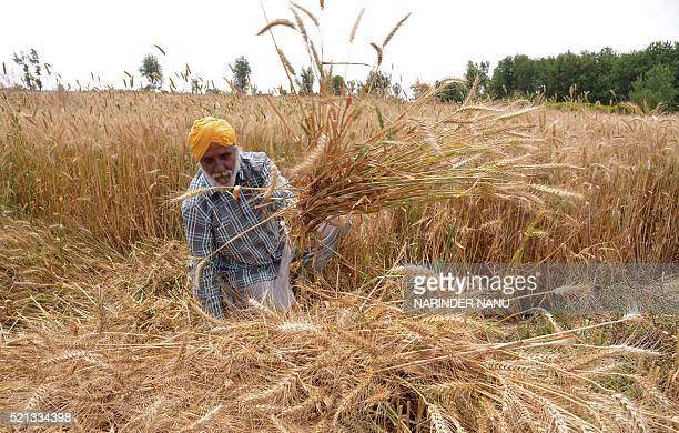 Indian farmer Santokh Singh sits among his ripening wheat crop in a field on the outskirts of Amritsar on April 15 2016 Punjab is India's largest...