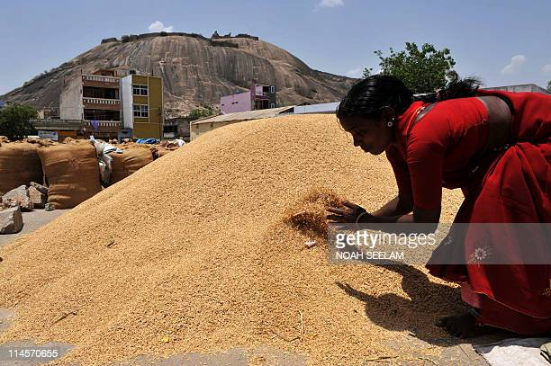 Indian farmer Udutha Lakshmi spreads her paddy production prior to an auction at the agriculture marketyard in Bhongir mandal of Nalgonda district...