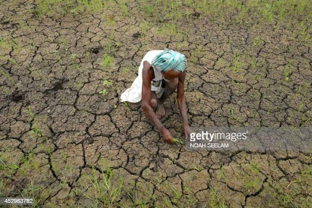 Indian farmer Vangala Anji Reddy works in a parched paddy field at Medak district some 60 kilometers from Hyderabad on July 31 2014 The Indian...