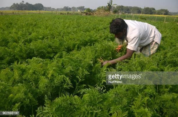 Indian farmer work in a vegetable field to grow up the vegetables in North 24 Pargana district 20 km from Kolkata India on Monday 8th January 2018