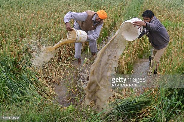 Indian farmers clear rain water from their flooded wheat crop field on the outskirts of Amritsar on March 16 2015 Heavy rains and strong winds have...