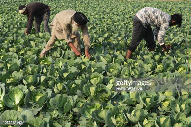 Indian farmers harvest cabbage in a field on the outskirts of Amritsar on December 27 2018