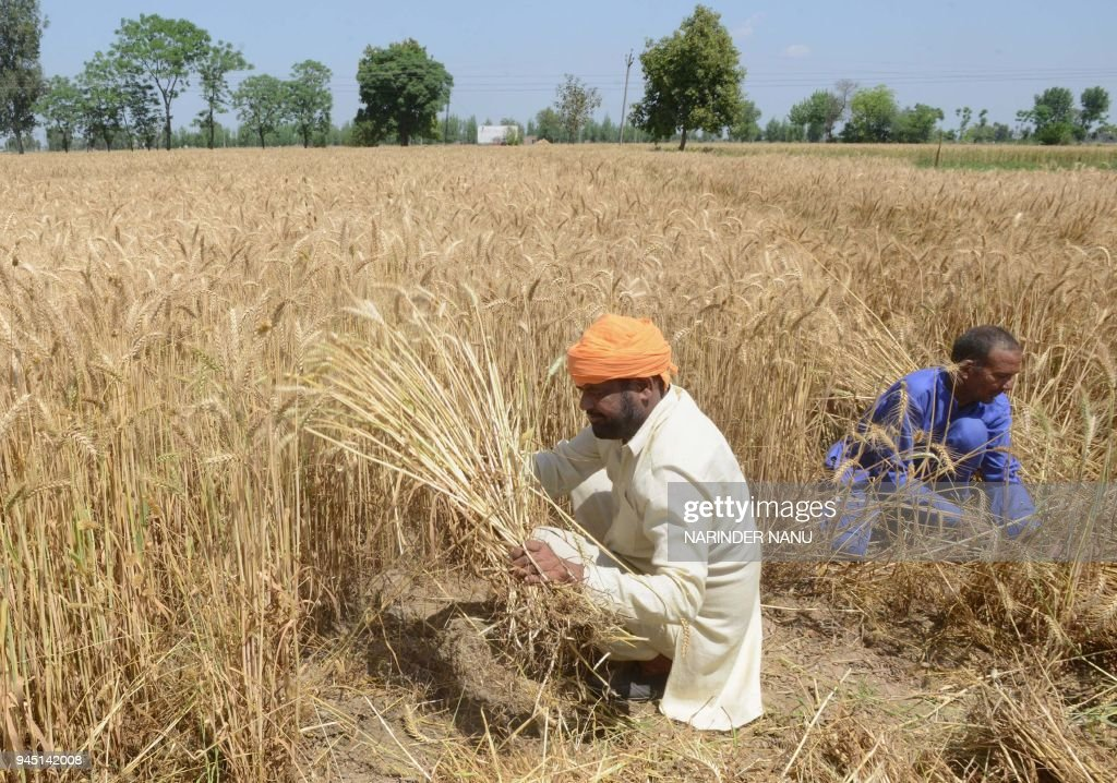 Indian farmers harvest wheat crops in a field on the outskirts of Amritsar on April 12 2018 / AFP PHOTO / NARINDER NANU