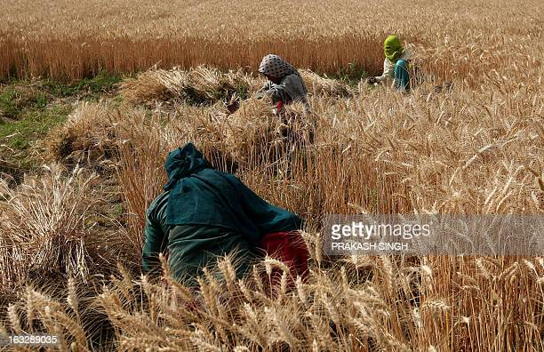 Indian farmers harvest wheat in a field of Ghaziabad some 35kms east of New Delhi on April 23 2008 The Indian government has decided to establish a...