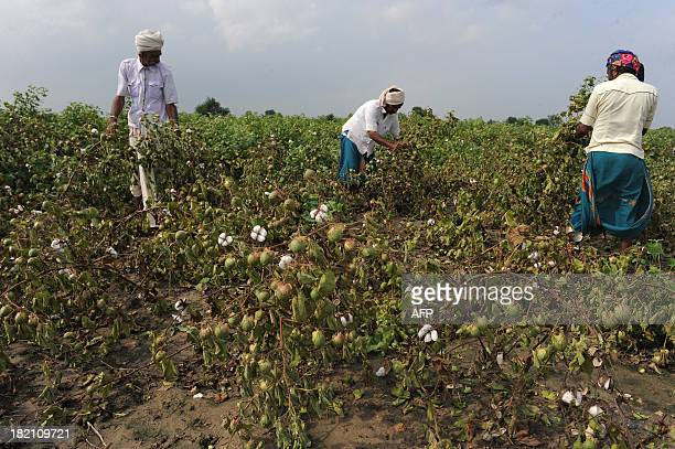 Indian farmers look at destroyed cotton crops at Nesda village some 50 kilometres from Ahmedabad on September 28 2013 Farmers are worried that their...