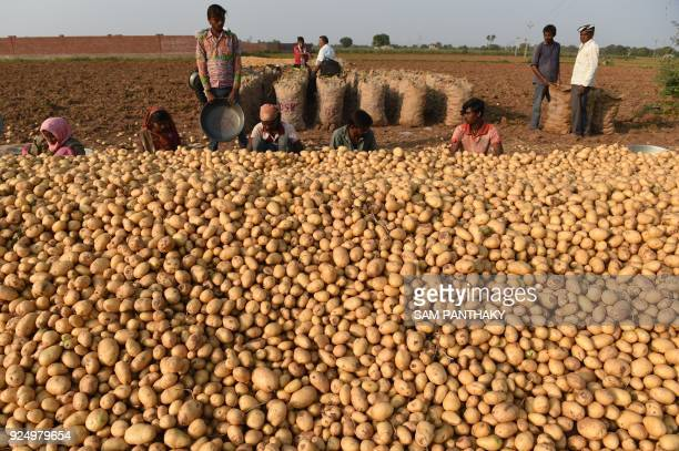 Indian farmers pack harvested potatoes in a field near Magodi village some 40 kms from Ahmedabad on February 27 2018 / AFP PHOTO / SAM PANTHAKY