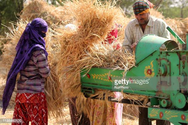 Indian farmers thresh a harvested wheat crop in a field outskirts Village of Ajmer Rajasthan India on 07 April 2019