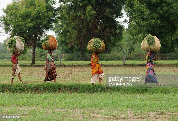 Indian farmers walk through a rice paddy field in Narimanpura village in Gujarat on July 13 2011 Farmers in the Western Indian state of Gujarat are...