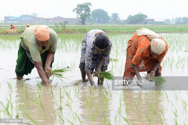Indian farmers work in a rice paddy field on the outskirts of Amritsar on July 5 2019