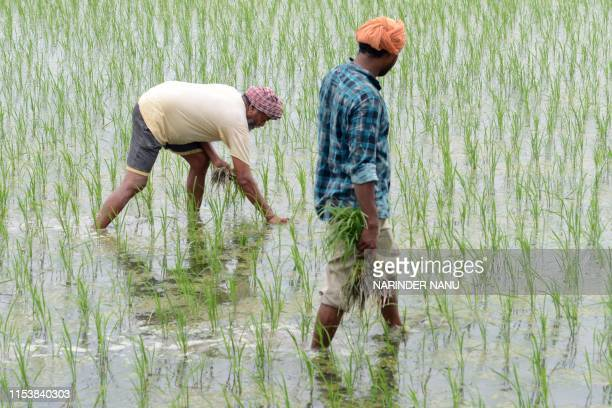 Indian farmers work in a rice paddy field on the outskirts of Amritsar on July 5, 2019.