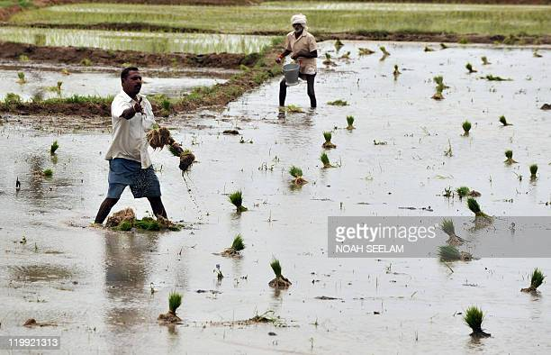 Indian farmers workin the paddy fields on the outskirts of Hyderabad on July 20 2011 India is the world's second largest producer of paddy which is...