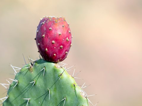Indian fig opuntia, wild plant, with ripe fruits. - gettyimageskorea