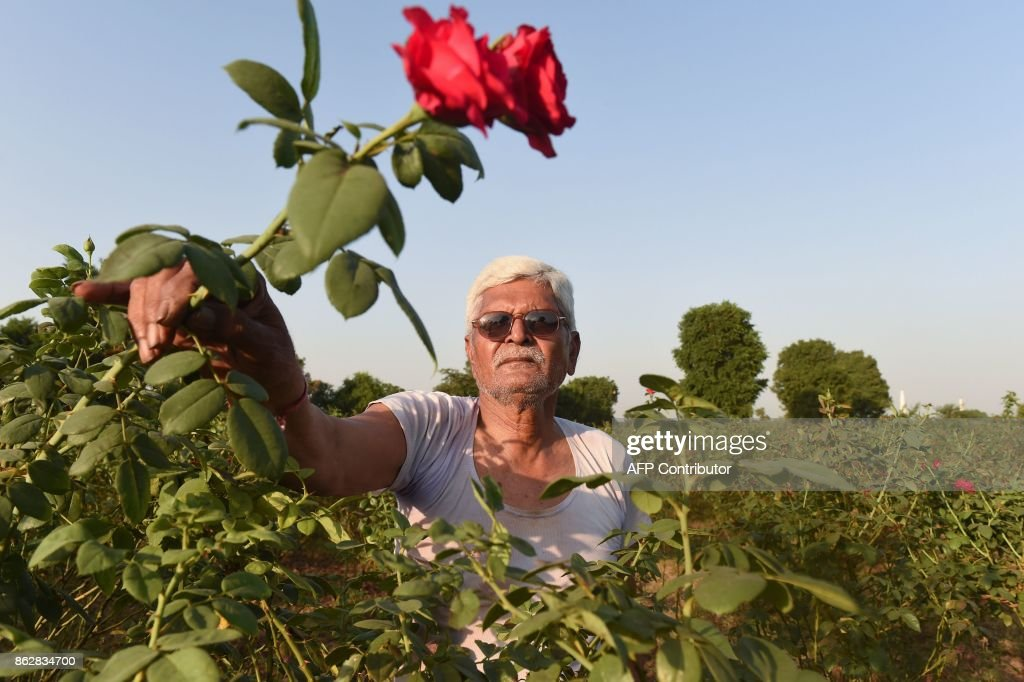 Indian flower farmer Kanubhai Patel shows 'divine roses', which have suffered this year due to the hot weather, at his farm in Badarkha village outside Ahmedabad on October 18, 2017. /