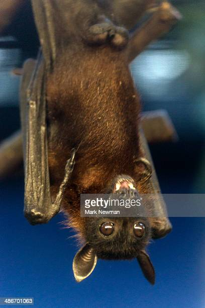 indian flying fox bat - bat animal stock photos and pictures