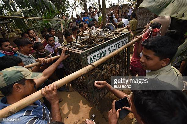 Indian forest department officials carry a leopard in a cage after it was tranquilized and rescued from a well in a residential area of Guwahati on...