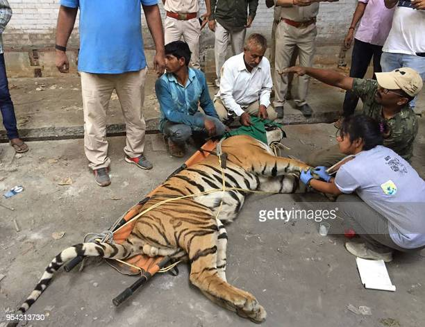 Indian Forest Department officials tranquilise a tiger that was found after a tenday search at a factory compound in Fatehganj West in Bareilly on...