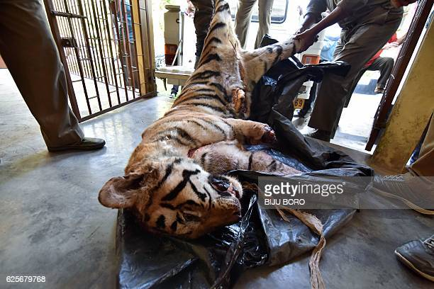 Indian forest guards carry the body of a full grown Royal Bengal Tiger to a vehicle after a postmortem at the veterinary hospital in Jorhat some 310...