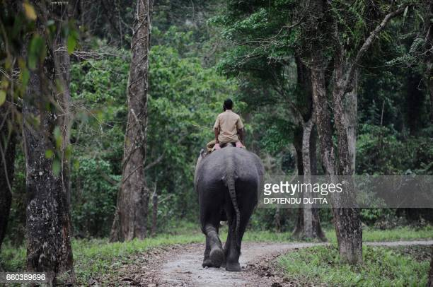 Indian forestry officials ride a domestic elephant during a wild elephant census in Garumara National Park in Jalpaiguri district on March 29 2017...