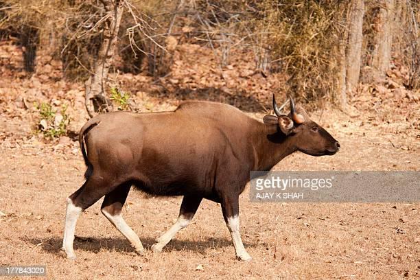 indian gaur - asian ox imagens e fotografias de stock