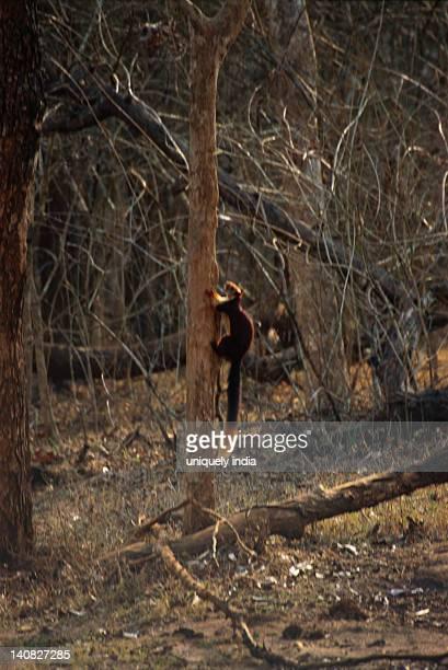Indian Giant squirrel (Ratufa indica) climbing a tree, Bandipur National Park, Chamarajanagar, Karnataka, India
