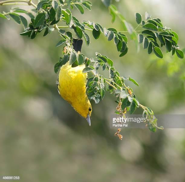 Indian Golden Oriole, (Oriolus kundoo)