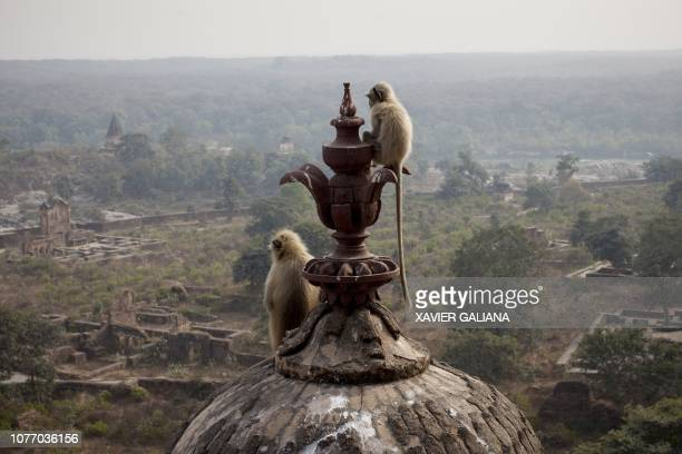 Indian gray langurs look out while sitting atop a dome of the Orchha palace fort in Orchha in the Indian state of Madhya Pradesh on January 4, 2019.