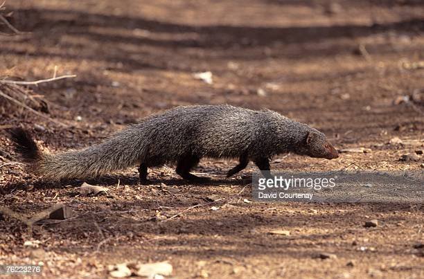 indian gray mongoose, herpestes edwardsii, walking across forest track, ranthambhore national park, rajasthan, india - mongoose stock photos and pictures