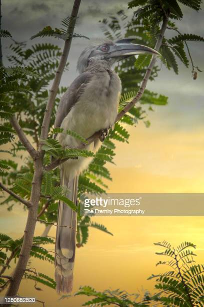 indian grey hornbill (ocyceros birostris) - one animal stock pictures, royalty-free photos & images