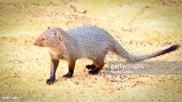 Indian Grey mongoose on the prowl