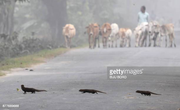 Indian grey mongooses cross the road as a villager takes his cows for grazing during a foggy morning in Pobitora village in Morigaon district of...