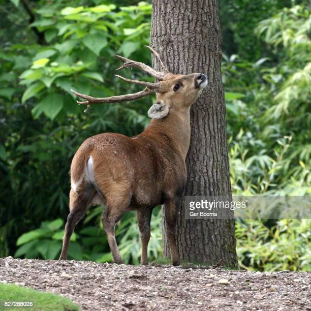 indian hog deer marking - マーキング ストックフォトと画像