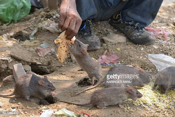 Indian homeless man Shaband Rameshwar feeds rats in Amritsar on July 14 2016 Rameshwar says he collects waste food daily for the animals and feeds...