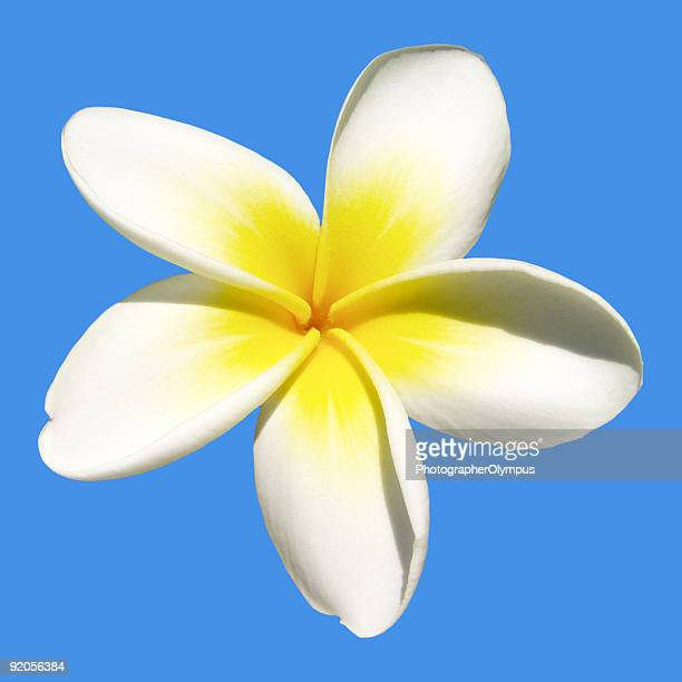 indian jasmine on blue - jasmine flower stock pictures, royalty-free photos & images