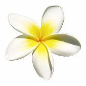 Indian jasmine on white (frangipani)