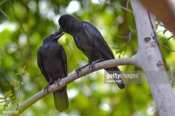 indian jungle crow feeding her young one/nagpur - crow bird stock photos and pictures