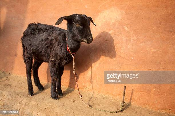 Indian Kid (baby Goat)