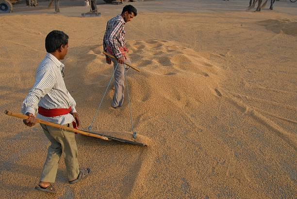 Indian labourers dry wheat grains at a market in Jalandhar in northern Punjab state on April 22 2015 Scores of debtladen farmers in India have...
