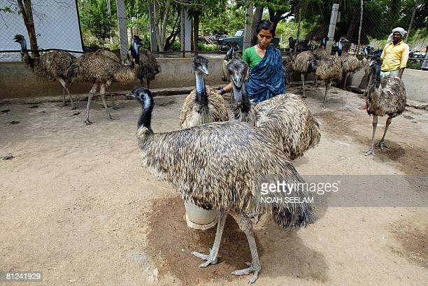 Indian labourers go about heir work at an Emu farm at Peddavura in the Nalgonda District of the Indian state of Andhra Pradesh, some 180 kms from...