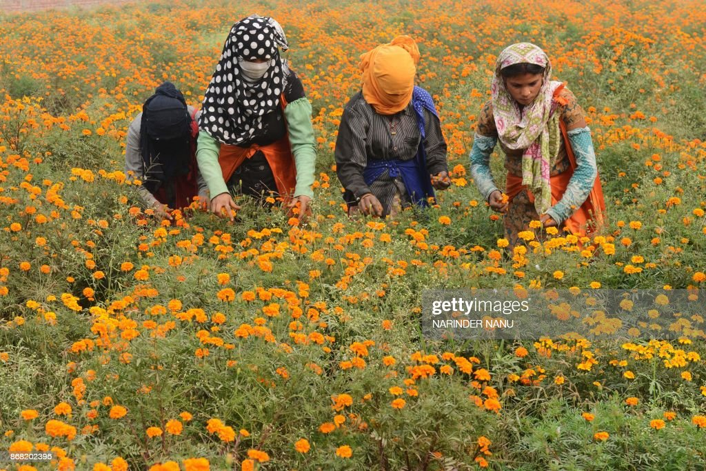 Indian labourers harvest marigold flowers in a field on the outskirts of Amritsar on October 30 2017 / AFP PHOTO / NARINDER NANU