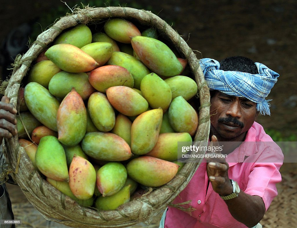 Indian labourers load mangos onto a truck for supply to other parts