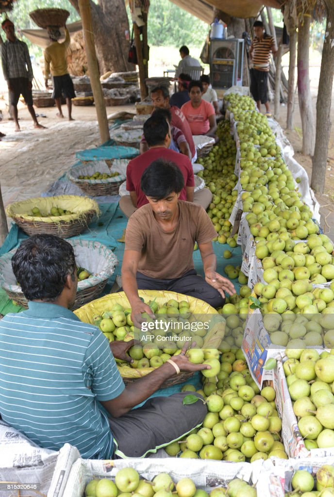 Indian labourers sort pears at an orchard on the outskirts of Amritsar on July 16 2017 / AFP PHOTO / NARINDER NANU