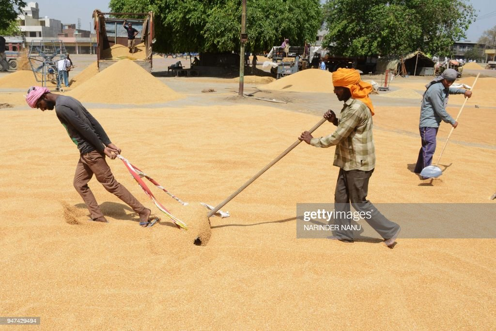 Indian labourers spread wheat grain to dry at a local distribution point on the outskirts of Amritsar on April 17 2018 / AFP PHOTO / NARINDER NANU