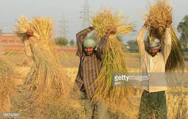 Indian labourers thresh rice in a field in Attari village some 30 Kms from Amritsar on October 25, 2012. The Indian state of Punjab is the country's...