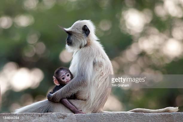 Indian Langur monkeys Presbytis entellus female and baby in Ranthambore National Park Rajasthan India