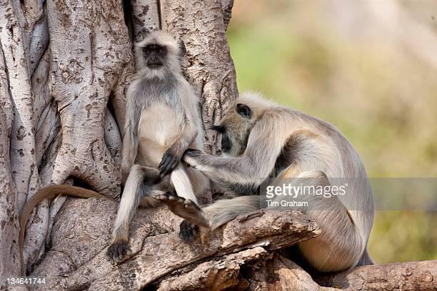 Indian Langur monkeys Presbytis entellus grooming in Banyan Tree in Ranthambore National Park Rajasthan India