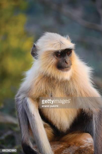 Indian langur monkeys, Presbytis Entellus