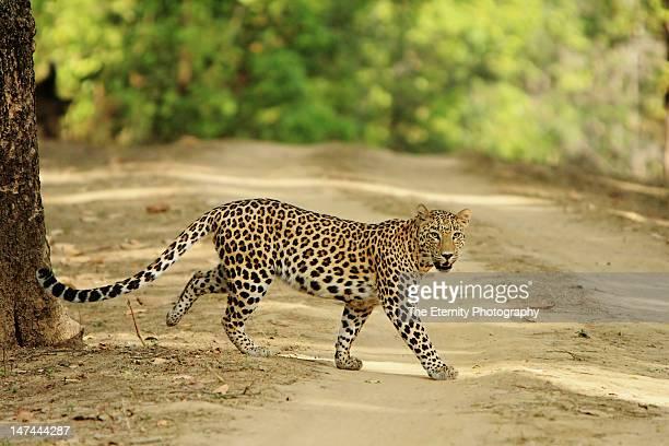 Indian leopard at Kanha Tiger Reserve