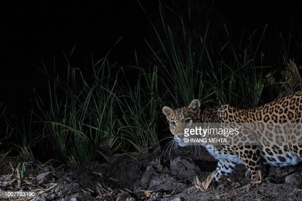 indian leopard on camera trap - レオパード柄 ストックフォトと画像